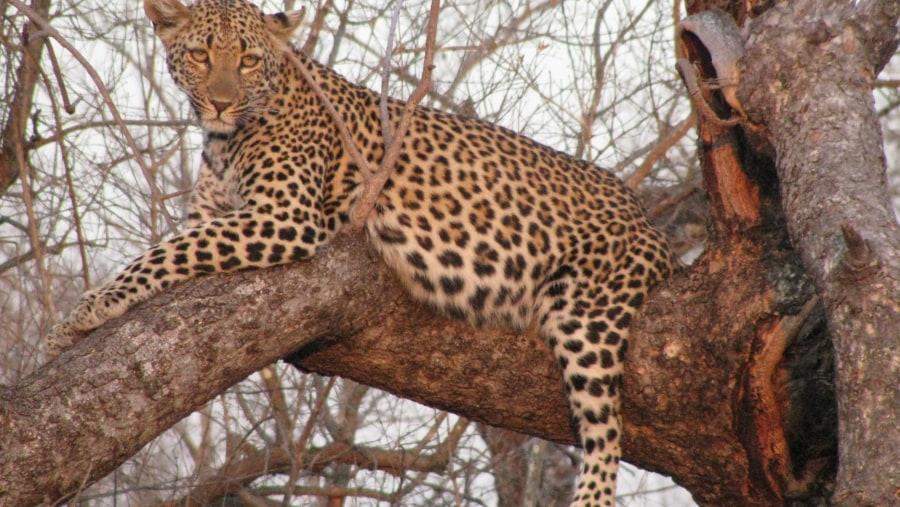 Leopard, Kruger Park, South Africa