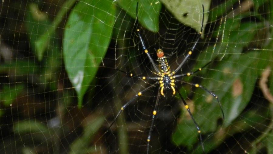 Black Spider at Rain Forest