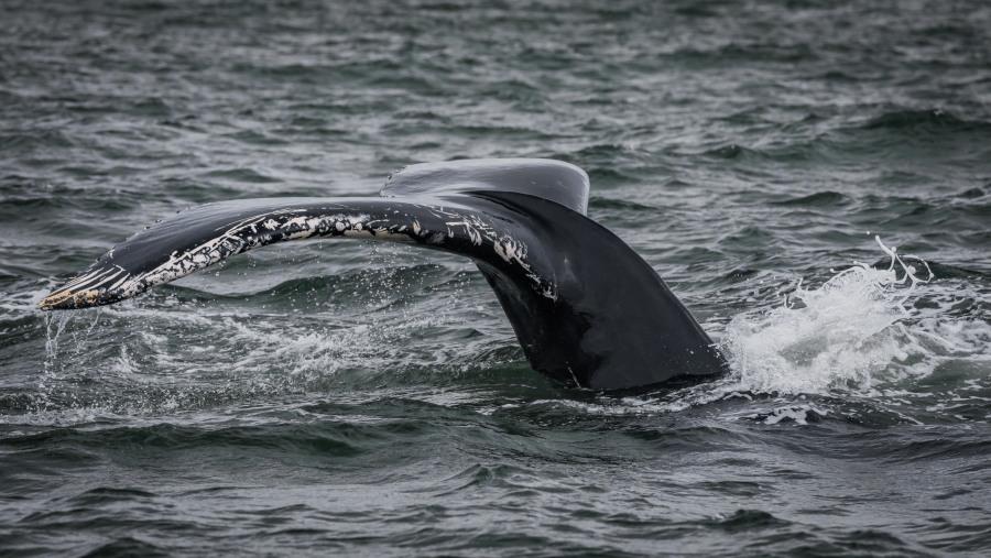 Humpack Whale RIB Express