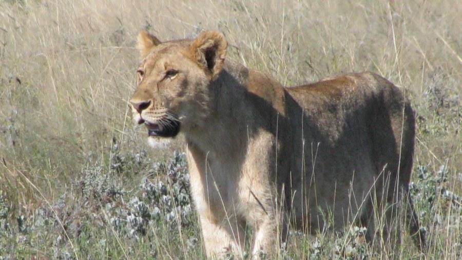 Lioness - Etosha