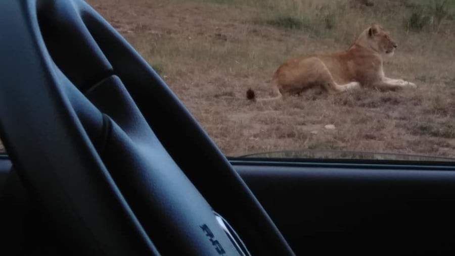 Lioness on a hunting mission