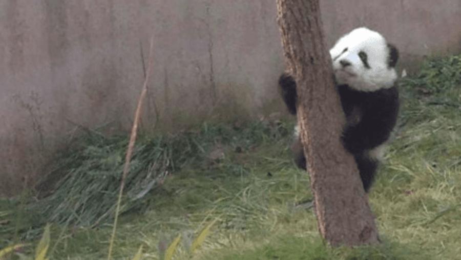 5 month old panda