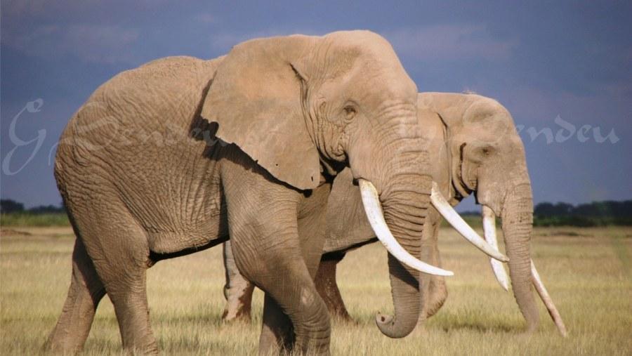 Elephants - Amboseli National Park - Kenya