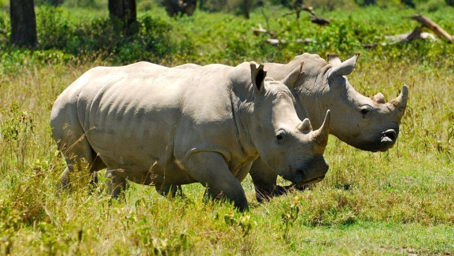 White Rhinoceros in Lake Nakuru National Park