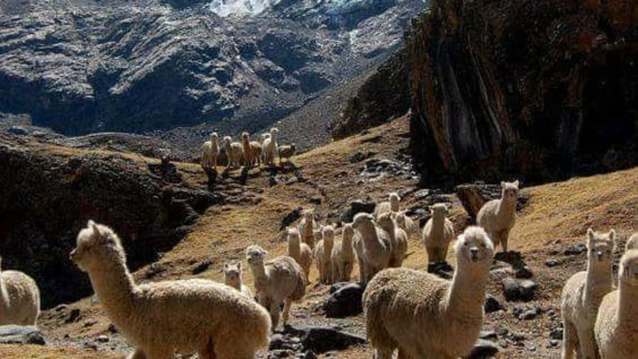 Alpacas on Route