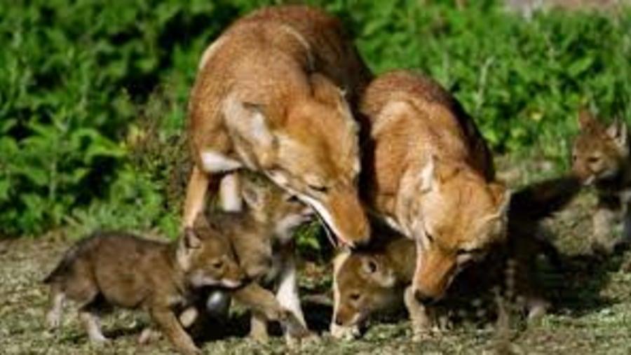 red fox endemi to ETIOPIA