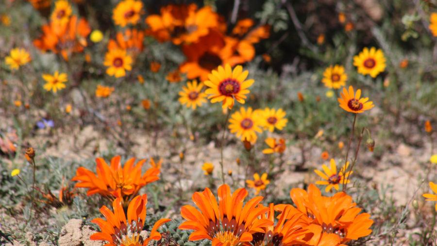 Spring Flower Tours, Namaqualand