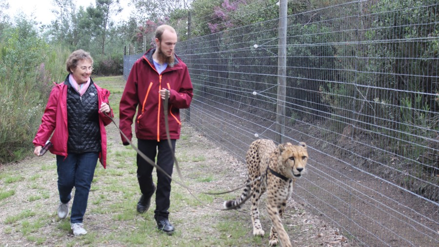 Walking with the Cheetahs