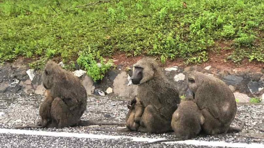 Baboons at the Shai Hills Resource Reserve near Accra