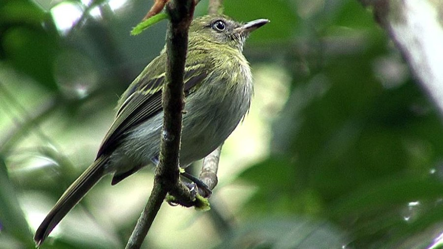White bellied tody