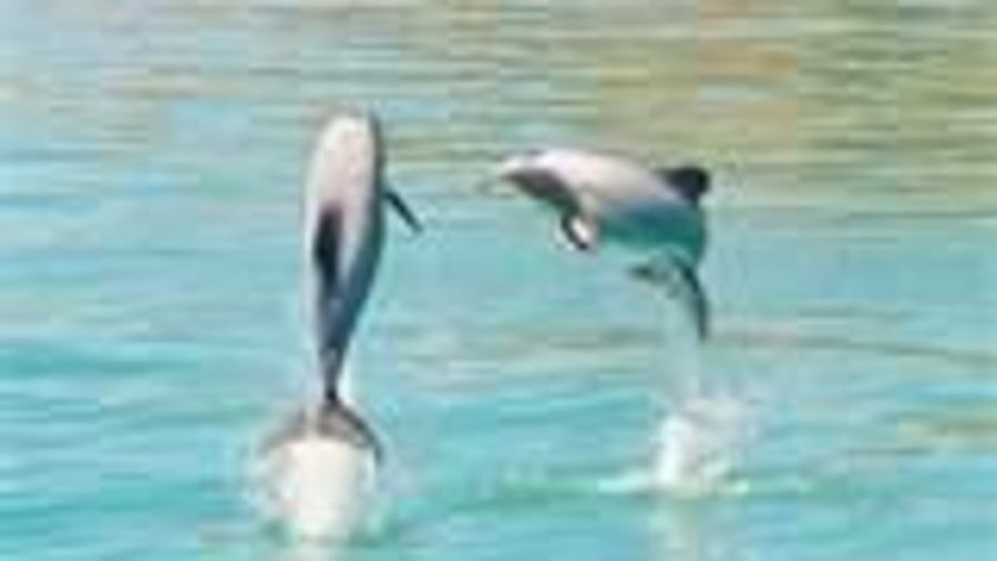 Look out for the Hector's Dolphin