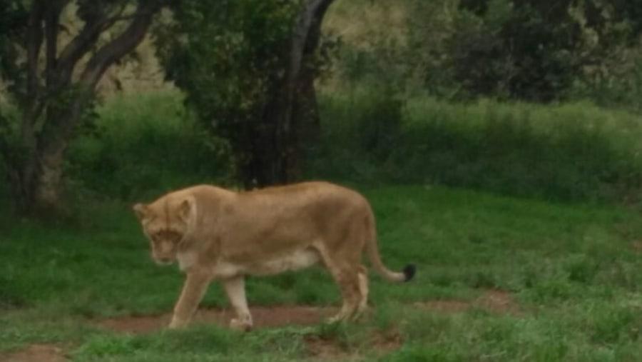 White Lion Boma