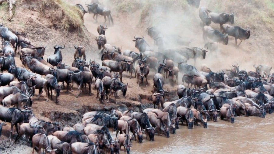Wilderbeest crossing the Mara River during the annual Great Widerbeest Migration.