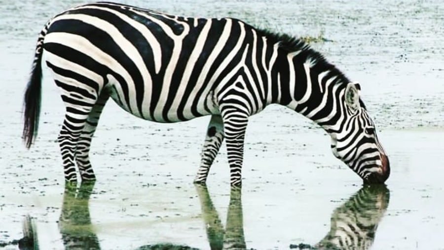 Zebra quenching its thirst