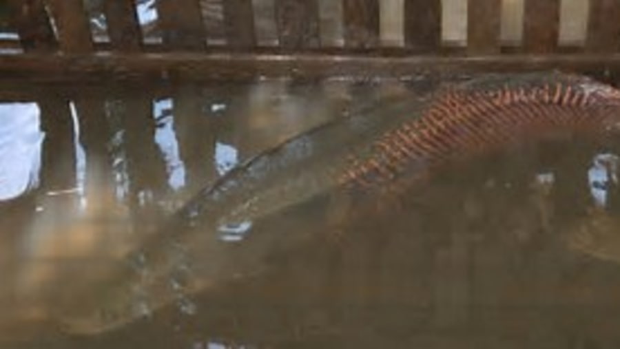 Wold Largest freshwater scaled fish