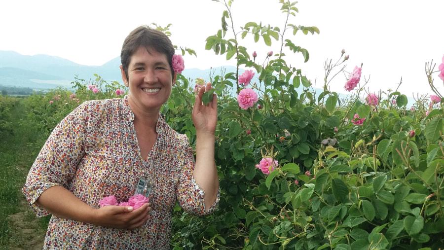 Rose damascena field