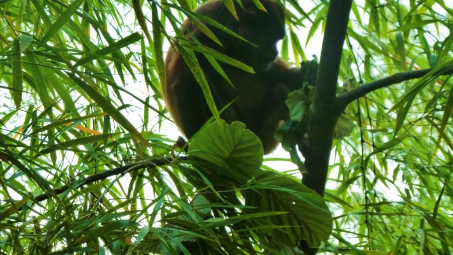 Howler Monkey at The Rain Forest