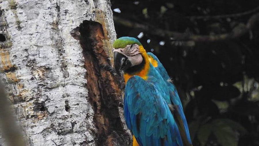 yarapa expeditions blue and yellow macaw