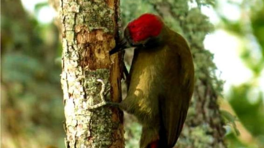 Knysna Woodpecker with  Walk on the Wild Side and Howard Butcher