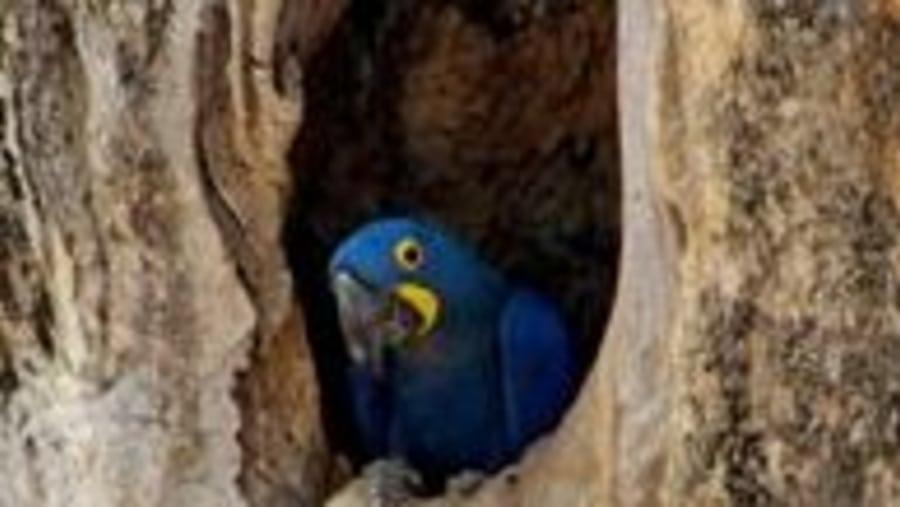 Hiacynth Macaw, an Pantanal icon.
