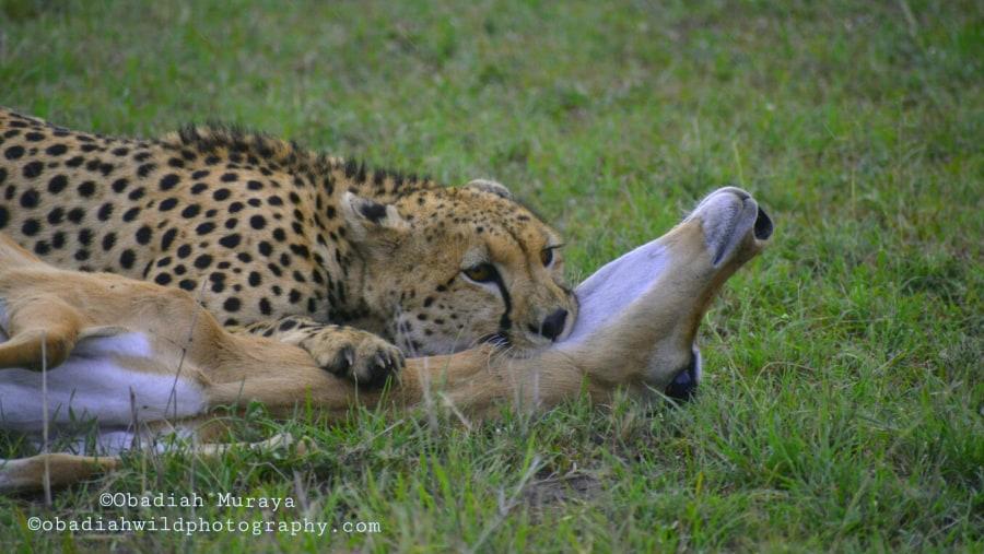 A cheetah making a kill of a female impala.