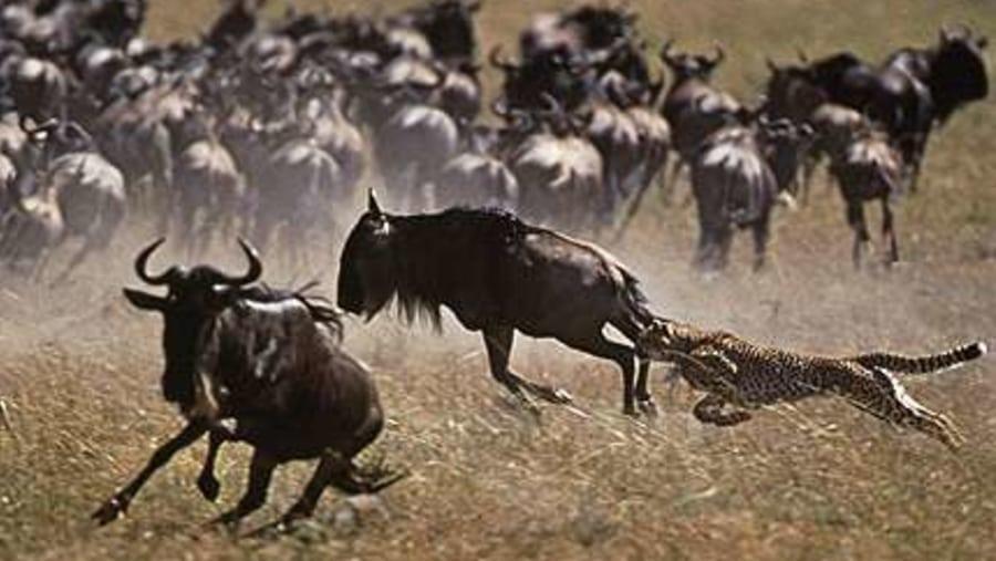 Wildbeest Migration