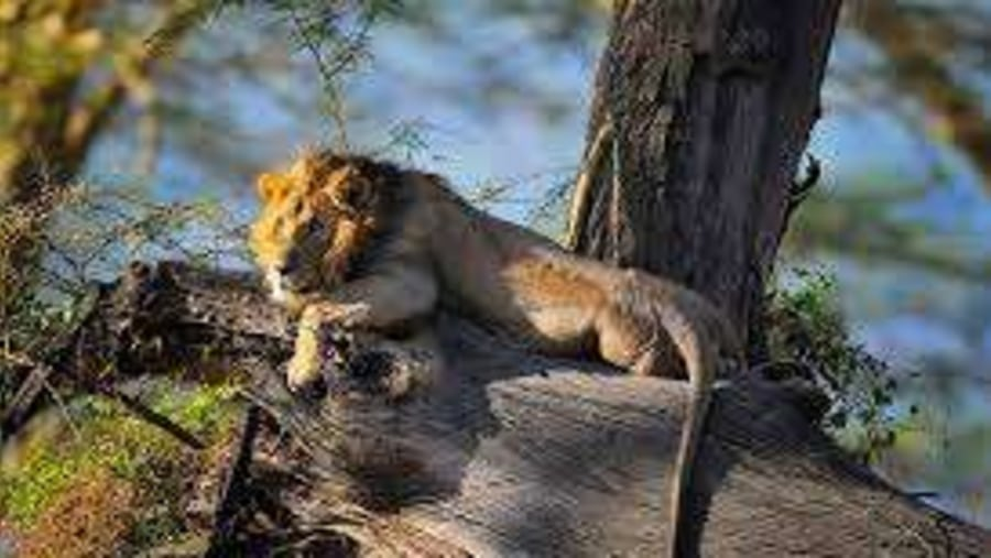 LION WACHING OVER PREY