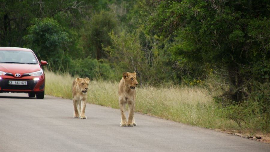 Female lions walking on the road near Lower Sabie