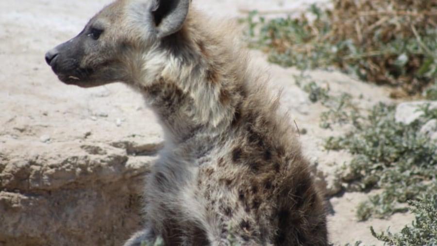 hyena in amboseli
