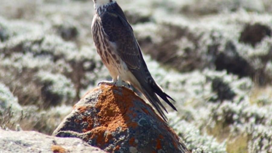 Lanner Falcon(falco biarmicus)