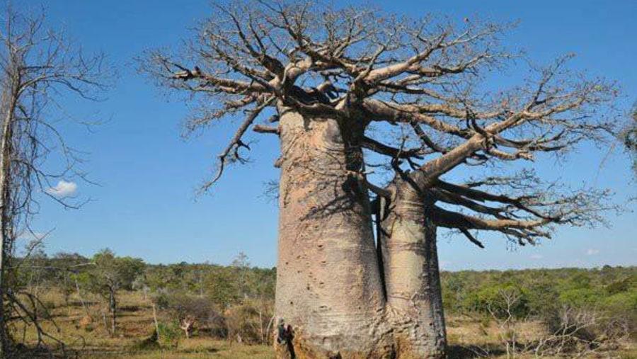 couple baobab