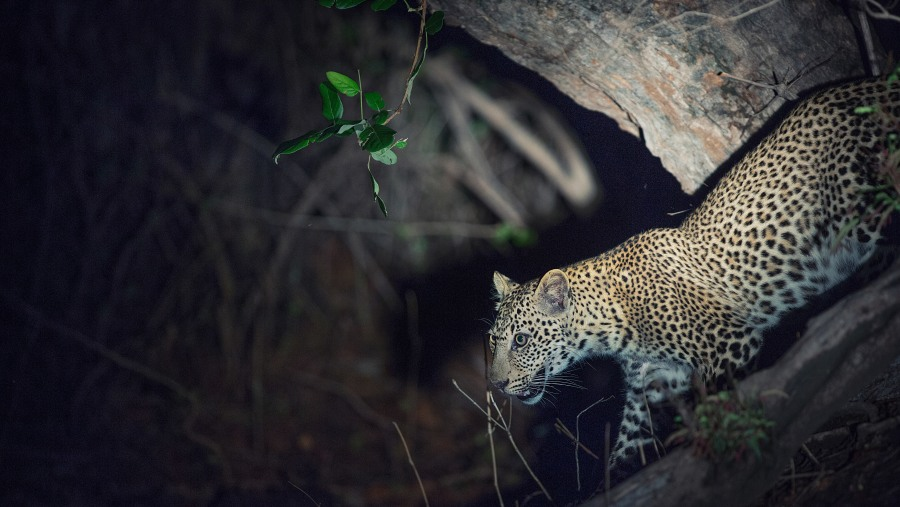 a leopard spoted on a safari in South Luangwa National Park in Zambia.