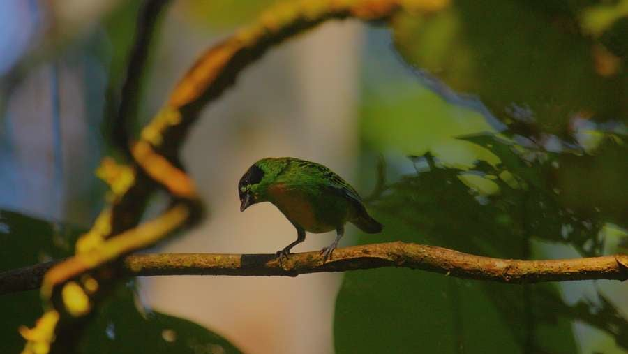 Gree-and-Gold Tanager