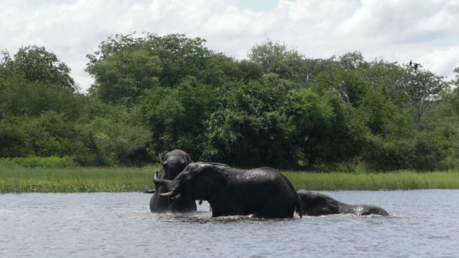 Elephants playing in the Shire River-Mvuu Camp & Lodge