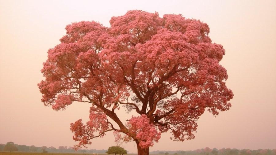 Pink Tabebuia or Ipe
