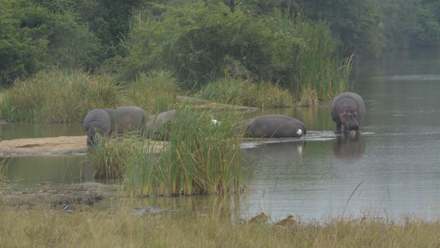 Hippopotamus at Nairobi Dam