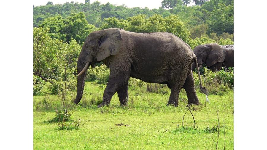 Grazing elephants in Mole park