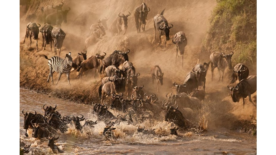 Wildebeest crossing the MAra River in northern Serengeti