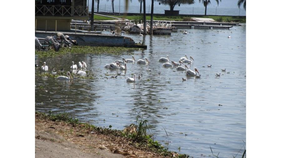 Pelícanos migratorios