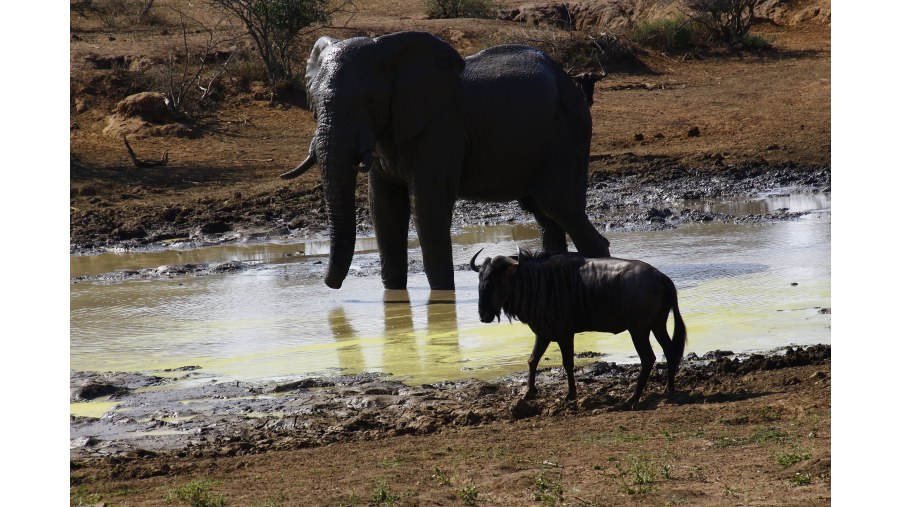 African Elephant and Blue Wildebeest at dry waterhole