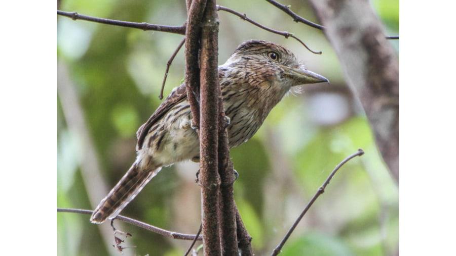 Striolated puff bird
