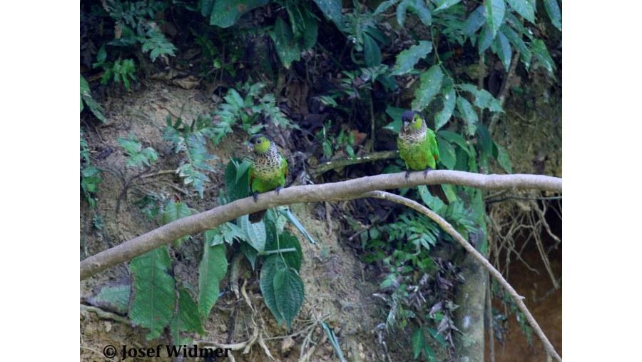Black capped parrots