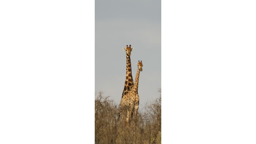 Male and female Giraffe