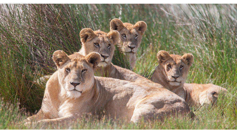 Female lions in Serengeti National Park