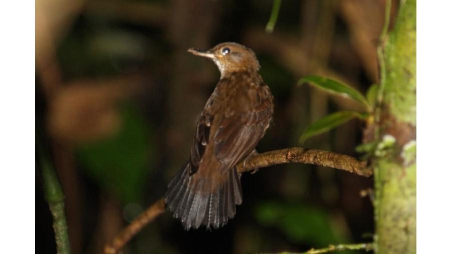Black tailed leaftosser