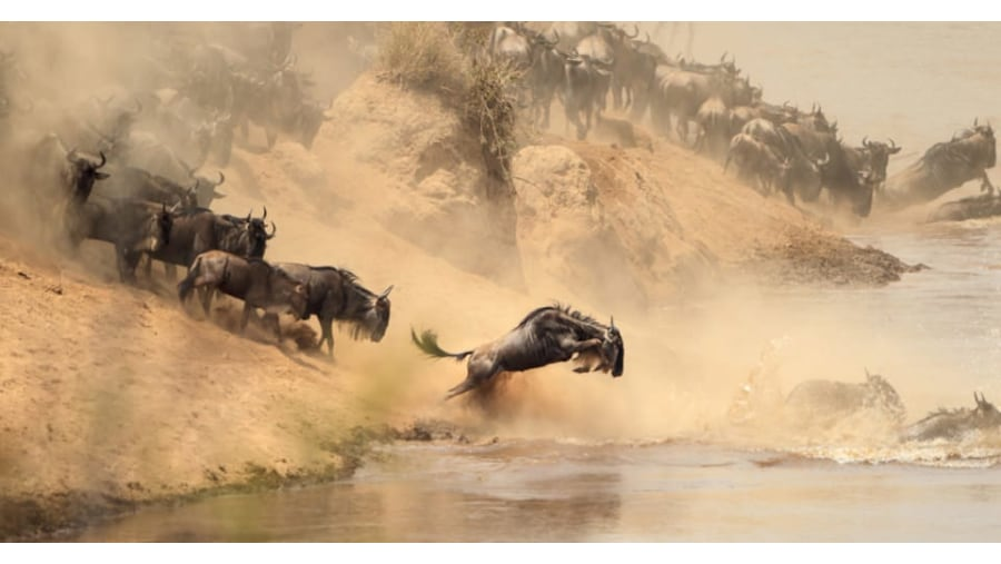 Wildebeest crossing Mara River in northern Serenget.