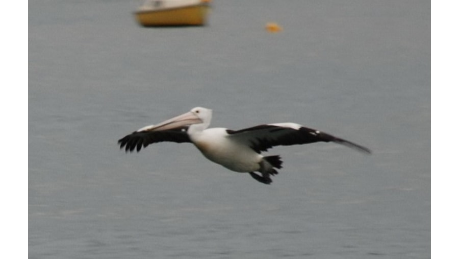 Pelican - שקנאי