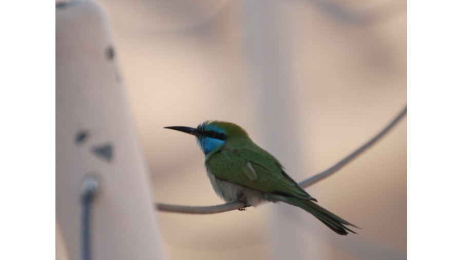 Little Green Bee-eater / שרקרק גמדי