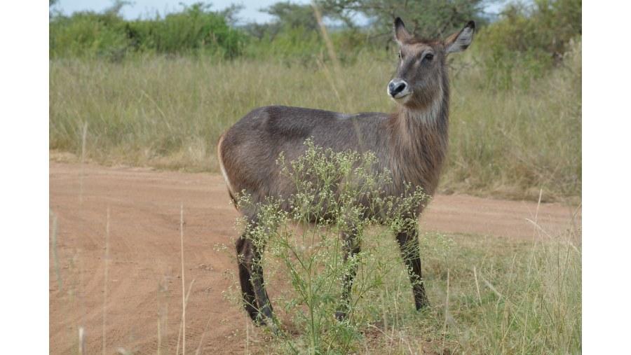 Waterbuck Gazelle
