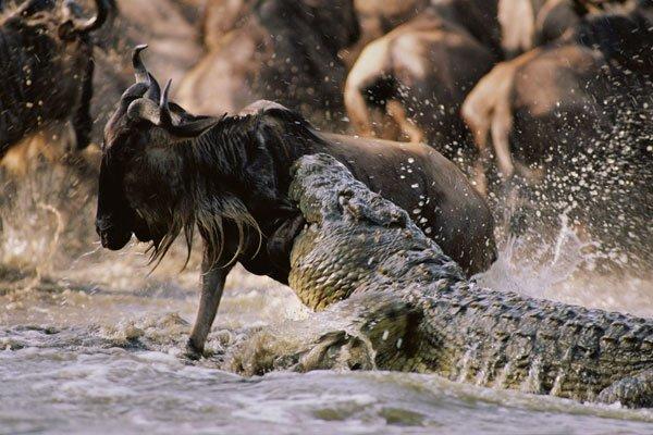 Crocodile grabbing its prey at Masai Mara